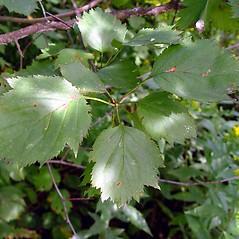 Leaves: Crataegus coccinea. ~ By Arthur Haines. ~ Copyright © 2018. ~ arthurhaines[at]wildblue.net