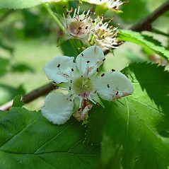 Flowers: Crataegus coccinioides. ~ By Arthur Haines. ~ Copyright © 2018. ~ arthurhaines[at]wildblue.net
