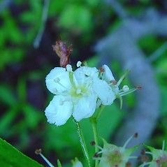 Flowers: Crataegus dodgei. ~ By Arthur Haines. ~ Copyright © 2020. ~ arthurhaines[at]wildblue.net