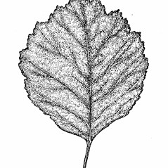 Leaves: Crataegus dodgei. ~ By Elizabeth Farnsworth. ~ Copyright © 2018 New England Wild Flower Society. ~ Image Request, images[at]newenglandwild.org