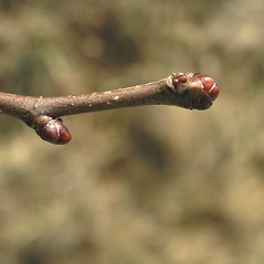 Winter buds: Crataegus dodgei. ~ By Bruce Patterson. ~ Copyright © 2018 Bruce Patterson. ~ foxpatterson[at]comcast.net