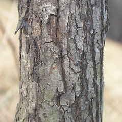 Bark: Crataegus faxonii. ~ By Bruce Patterson. ~ Copyright © 2020 Bruce Patterson. ~ foxpatterson[at]comcast.net