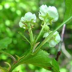 Flowers: Crataegus faxonii. ~ By Arthur Haines. ~ Copyright © 2020. ~ arthurhaines[at]wildblue.net