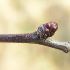 Winter buds: Crataegus faxonii. ~ By Bruce Patterson. ~ Copyright © 2019 Bruce Patterson. ~ foxpatterson[at]comcast.net