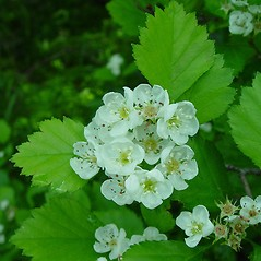 Flowers: Crataegus flavida. ~ By Arthur Haines. ~ Copyright © 2018. ~ arthurhaines[at]wildblue.net