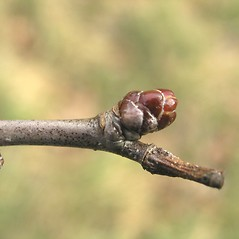 Winter buds: Crataegus flavida. ~ By Bruce Patterson. ~ Copyright © 2018 Bruce Patterson. ~ foxpatterson[at]comcast.net