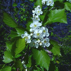 Flowers: Crataegus fluviatilis. ~ By Arthur Haines. ~ Copyright © 2019. ~ arthurhaines[at]wildblue.net