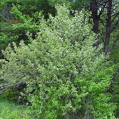 Plant form: Crataegus fluviatilis. ~ By Arthur Haines. ~ Copyright © 2020. ~ arthurhaines[at]wildblue.net