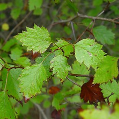 Leaves: Crataegus fluviatilis. ~ By Arthur Haines. ~ Copyright © 2019. ~ arthurhaines[at]wildblue.net