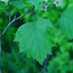 Leaves: Crataegus forbesae. ~ By Arthur Haines. ~ Copyright © 2019. ~ arthurhaines[at]wildblue.net