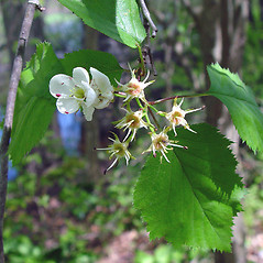 Flowers: Crataegus holmesiana. ~ By Arthur Haines. ~ Copyright © 2018. ~ arthurhaines[at]wildblue.net