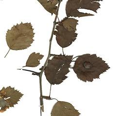 Plant form: Crataegus holmesiana. ~ By Missouri Botanical Garden. ~ Copyright © 2018 CC-BY-NC-SA. ~  ~ Tropicos, Missouri Botanical Garden - www.tropicos.org