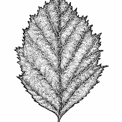 Leaves: Crataegus holmesiana. ~ By Elizabeth Farnsworth. ~ Copyright © 2018 New England Wild Flower Society. ~ Image Request, images[at]newenglandwild.org