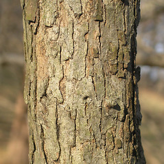 Bark: Crataegus irrasa. ~ By Bruce Patterson. ~ Copyright © 2017 Bruce Patterson. ~ foxpatterson[at]comcast.net