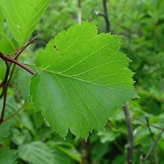 Leaves: Crataegus irrasa. ~ By Arthur Haines. ~ Copyright © 2017. ~ arthurhaines[at]wildblue.net