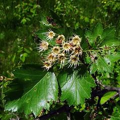 Flowers: Crataegus irrasa. ~ By Arthur Haines. ~ Copyright © 2017. ~ arthurhaines[at]wildblue.net