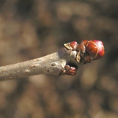 Winter buds: Crataegus irrasa. ~ By Bruce Patterson. ~ Copyright © 2019 Bruce Patterson. ~ foxpatterson[at]comcast.net