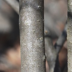 Bark: Crataegus keepii. ~ By Bryan Hamlin. ~ Copyright © 2019 Bryan Hamlin. ~ bryanthamlin[at]gmail.com