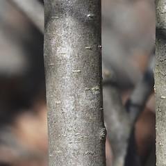 Bark: Crataegus keepii. ~ By Bryan Hamlin. ~ Copyright © 2017 Bryan Hamlin. ~ bryanthamlin[at]gmail.com