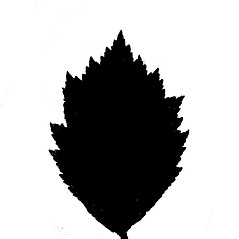 Leaves: Crataegus keepii. ~ By Arthur Haines. ~ Copyright © 2017. ~ arthurhaines[at]wildblue.net