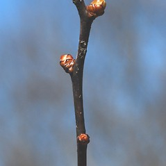 Winter buds: Crataegus keepii. ~ By Bryan Hamlin. ~ Copyright © 2019 Bryan Hamlin. ~ bryanthamlin[at]gmail.com