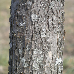 Bark: Crataegus laurentiana. ~ By Bruce Patterson. ~ Copyright © 2017 Bruce Patterson. ~ foxpatterson[at]comcast.net