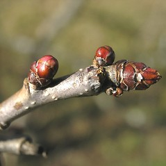 Winter buds: Crataegus laurentiana. ~ By Bruce Patterson. ~ Copyright © 2017 Bruce Patterson. ~ foxpatterson[at]comcast.net