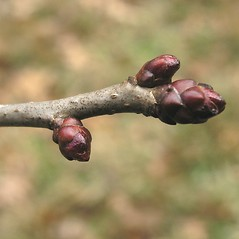 Winter buds: Crataegus lucorum. ~ By Bruce Patterson. ~ Copyright © 2018 Bruce Patterson. ~ foxpatterson[at]comcast.net