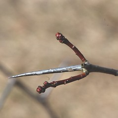 Winter buds: Crataegus macracantha. ~ By Bryan Hamlin. ~ Copyright © 2018 Bryan Hamlin. ~ bryanthamlin[at]gmail.com