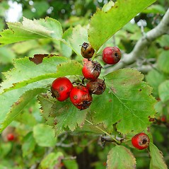 Fruits: Crataegus macrosperma. ~ By Arthur Haines. ~ Copyright © 2019. ~ arthurhaines[at]wildblue.net