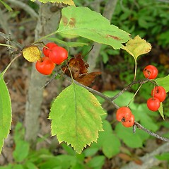 Leaves: Crataegus macrosperma. ~ By Arthur Haines. ~ Copyright © 2019. ~ arthurhaines[at]wildblue.net