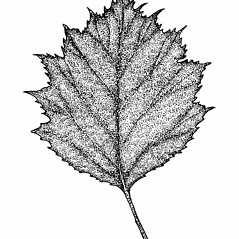 Leaves: Crataegus macrosperma. ~ By Elizabeth Farnsworth. ~ Copyright © 2019 New England Wild Flower Society. ~ Image Request, images[at]newenglandwild.org
