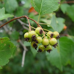 Fruits: Crataegus phaenopyrum. ~ By Arthur Haines. ~ Copyright © 2018. ~ arthurhaines[at]wildblue.net