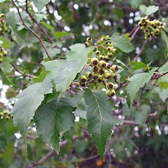 Plant form: Crataegus phaenopyrum. ~ By Arthur Haines. ~ Copyright © 2018. ~ arthurhaines[at]wildblue.net