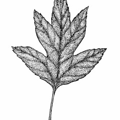 Leaves: Crataegus phaenopyrum. ~ By Elizabeth Farnsworth. ~ Copyright © 2018 New England Wild Flower Society. ~ Image Request, images[at]newenglandwild.org