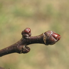 Winter buds: Crataegus pringlei. ~ By Bruce Patterson. ~ Copyright © 2018 Bruce Patterson. ~ foxpatterson[at]comcast.net