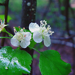 Flowers: Crataegus pruinosa. ~ By Arthur Haines. ~ Copyright © 2018. ~ arthurhaines[at]wildblue.net