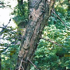 Bark: Crataegus punctata. ~ By Andrew Nelson. ~ Copyright © 2018 Andrew Nelson. ~ andrew.nelson[at]oswego.edu   ~ New York Flora Atlas - newyork.plantatlas.usf.edu