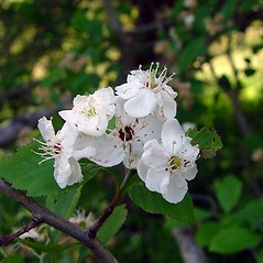 Flowers: Crataegus punctata. ~ By Arthur Haines. ~ Copyright © 2018. ~ arthurhaines[at]wildblue.net