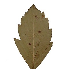 Leaves: Crataegus punctata. ~ By Arthur Haines. ~ Copyright © 2018. ~ arthurhaines[at]wildblue.net