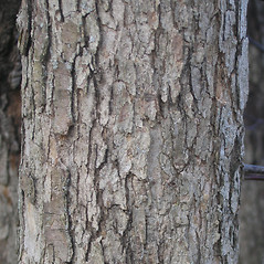 Bark: Crataegus scabrida. ~ By Bruce Patterson. ~ Copyright © 2019 Bruce Patterson. ~ foxpatterson[at]comcast.net
