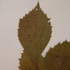 Leaves: Crataegus scabrida. ~ By Arthur Haines. ~ Copyright © 2019. ~ arthurhaines[at]wildblue.net