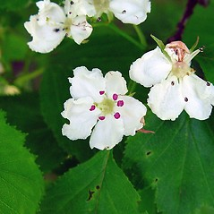 Flowers: Crataegus scabrida. ~ By Arthur Haines. ~ Copyright © 2018. ~ arthurhaines[at]wildblue.net