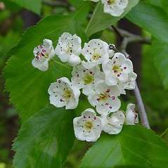 Flowers: Crataegus scabrida. ~ By Arthur Haines. ~ Copyright © 2019. ~ arthurhaines[at]wildblue.net