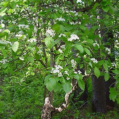 Plant form: Crataegus scabrida. ~ By Arthur Haines. ~ Copyright © 2018. ~ arthurhaines[at]wildblue.net