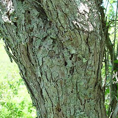 Bark: Crataegus schizophylla. ~ By Arthur Haines. ~ Copyright © 2018. ~ arthurhaines[at]wildblue.net