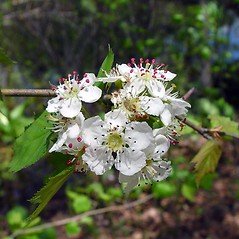 Flowers: Crataegus schuettei. ~ By Arthur Haines. ~ Copyright © 2018. ~ arthurhaines[at]wildblue.net