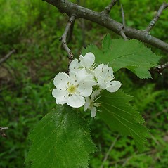 Flowers: Crataegus submollis. ~ By Arthur Haines. ~ Copyright © 2018. ~ arthurhaines[at]wildblue.net