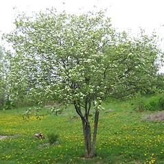 Plant form: Crataegus submollis. ~ By Mo Laidlaw. ~ Copyright © 2018 Mo Laidlaw. ~ molaidlaw[at]videotron.ca> ~ www.heritagepontiac.ca/Arbres/Liste___List.html