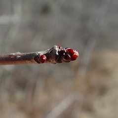 Winter buds: Crataegus submollis. ~ By Arthur Haines. ~ Copyright © 2018. ~ arthurhaines[at]wildblue.net